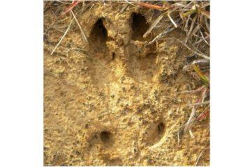 Hog Tracks
